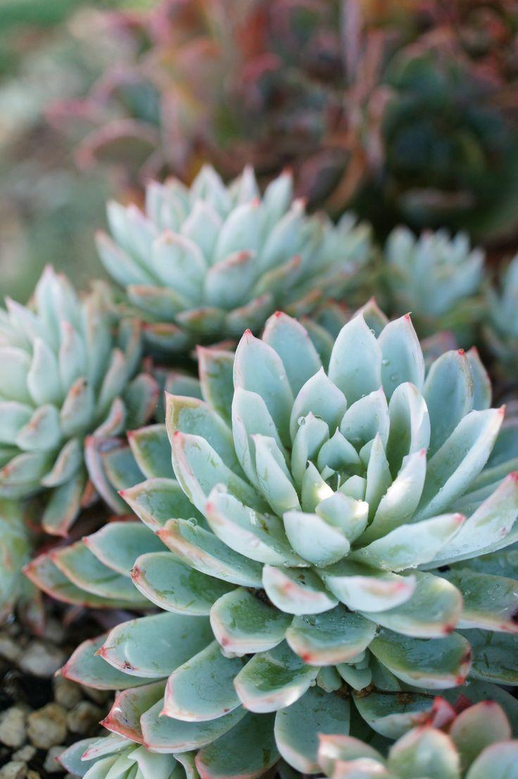 Blue succulents