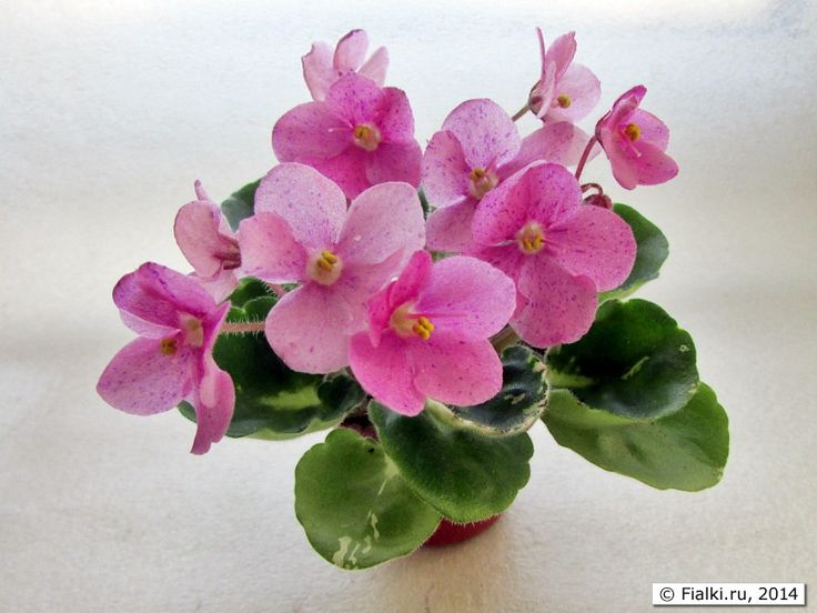 10 best african violets and other gesneriads images on pinterest h berdnikova gretchen bright pink flowers with mightylinksfo