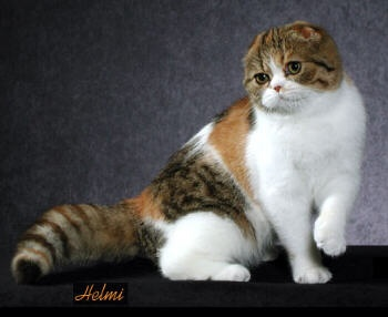 48 best images about beautiful scottish fold cats ️ on