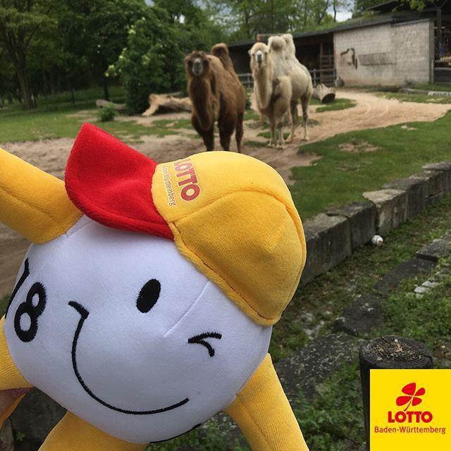 #Montag ist WINNY-Tag… Und unser Maskottchen hat den #Zoo in #Stuttgart besucht. Lotto #Baden-Württemberg ist Pate des Wappentiers der Wilhelma, dem #Elefanten, und auch der Wappenpflanze, der #Lotusblüte. Da lässt es sich unser #Maskottchen WINNY nicht nehmen, einmal persönlich in der #Wilhelma vorbei zu schauen. #LottoBW #Wilhelma #Zoo #Tierpark #animal #instaphoto #pictureoftheday #photooftheday # #Monday #mondaymotivation