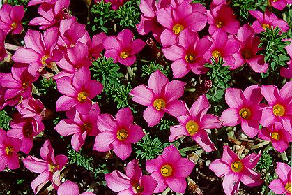 Oxalis hirta another shade loving low growing perennial for Low maintenance perennials for shade