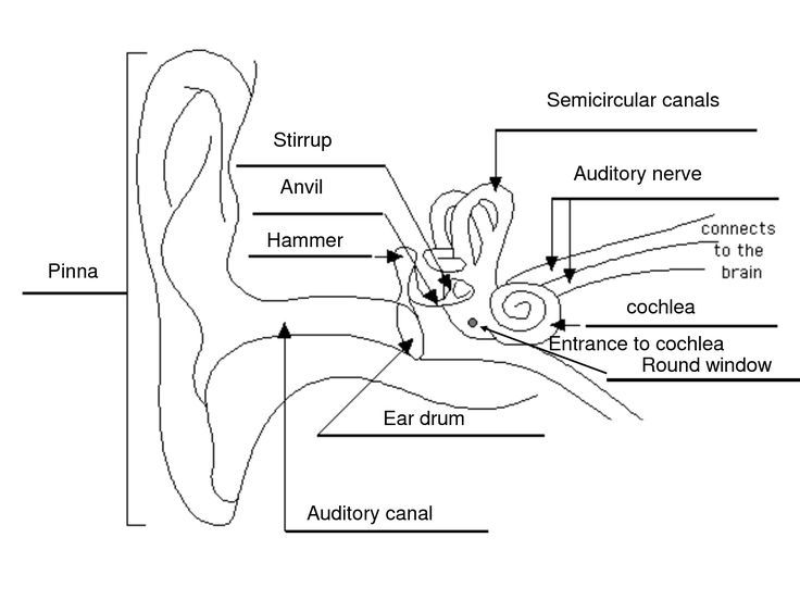 ear and nose diagram