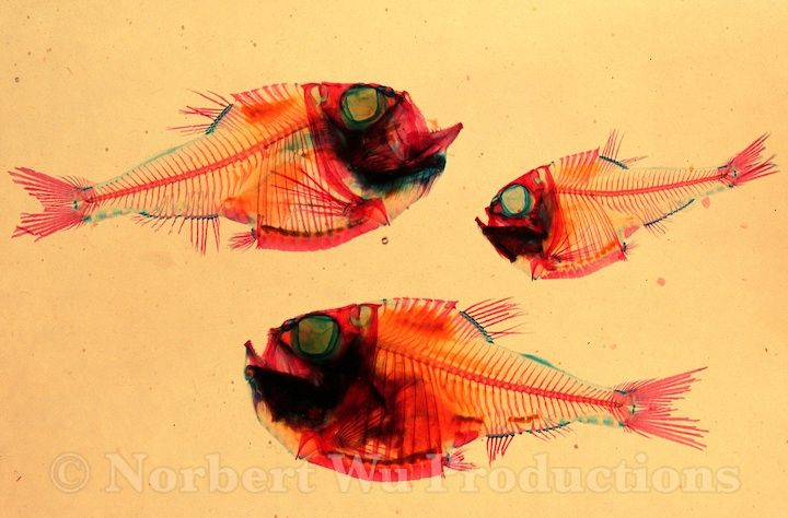 36 best Animals: Hatchetfish images on Pinterest   Fish ...