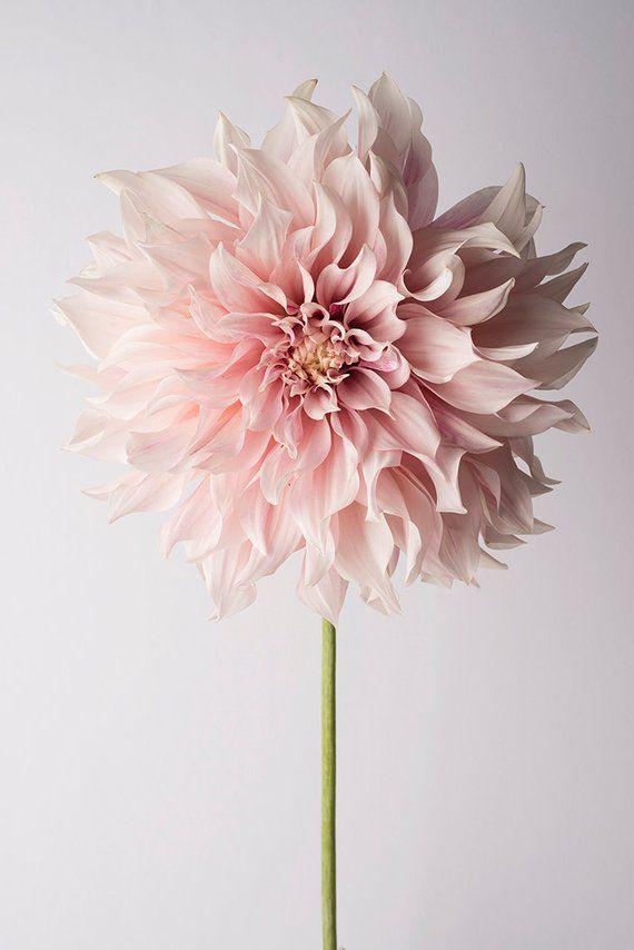 Blumenfotografie – Blumenstillleben Fotografie, rosa Dahlie, Cafe au Lait, Wanddekoration, Wa…