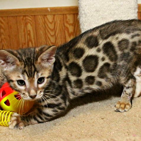 A Bengal Cat For Sale Best 25+ Bengal...