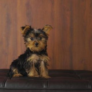 How to Take Care of a Shih Tzu-Yorkie Mix Puppy | eHow