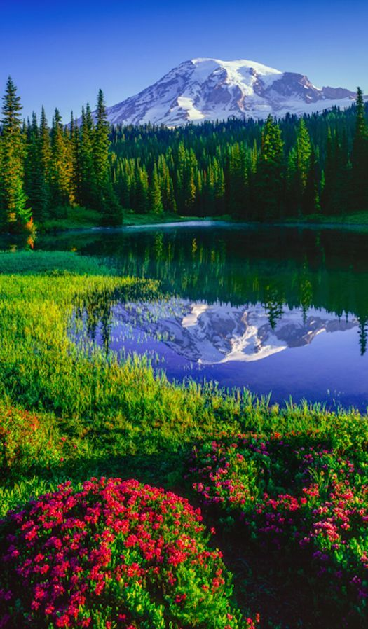 Mt. Rainier and red heather at Reflection Lakes in Mount Rainier National Park, Washington • photo: Paul Rezendes on AGPix