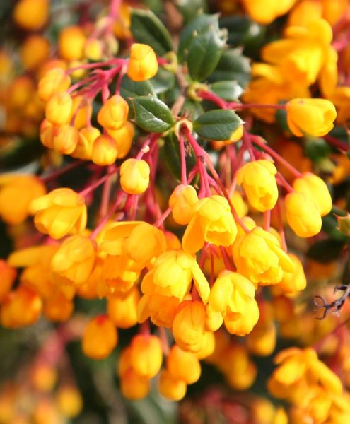Berberis darwinii - Clusters of small, nodding, orange-yellow flowers appear in mid- and late spring, followed by bluish-purple autumn berries. This upright, evergreen shrub has small, spiny, dark green, holly-like leaves and is useful to fill a difficult spot in the garden, provided it has space to spread out. It also makes a good informal, flowering hedge. Vigorous and easy-to-grow, it often produces a second flush of flowers in autumn.