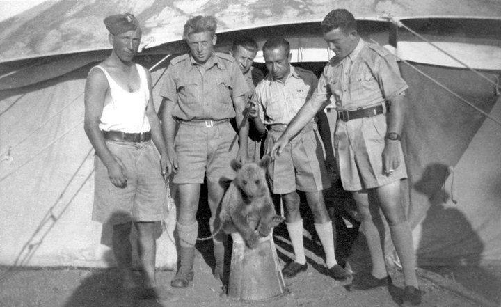 c.1942: Wojtek, the Soldier Bear 'Wojtek (1942–1963) was a Syrian brown bear cub found in Iran and adopted by soldiers of the 22nd Artillery Supply Company of the Polish II Corps. He enjoyed wrestling and was taught to salute when greeted. He travelled to Iraq, Syria, Palestine and Egypt. He was officially drafted into the Polish Army as a private. During the Battle of Monte Cassino, Wojtek helped move ammunition. Demobilization on November 15, 1947, Wojtek was given to the Edinburgh Zoo