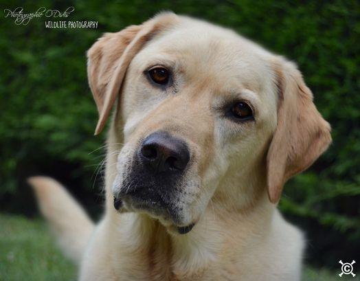 Dog- Labrador Retriever - Dilia on www.yummypets.com