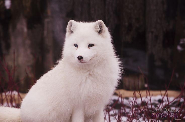 Artic fox - Artic fox
