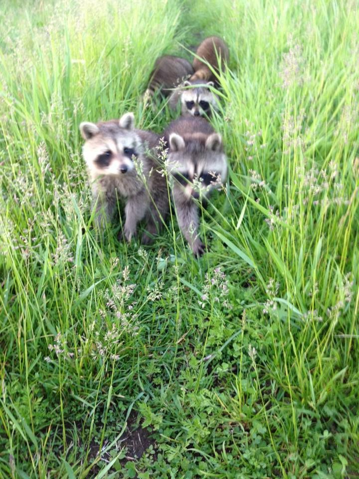 What to do about Raccoons? Wildlife Removal Niagara Falls