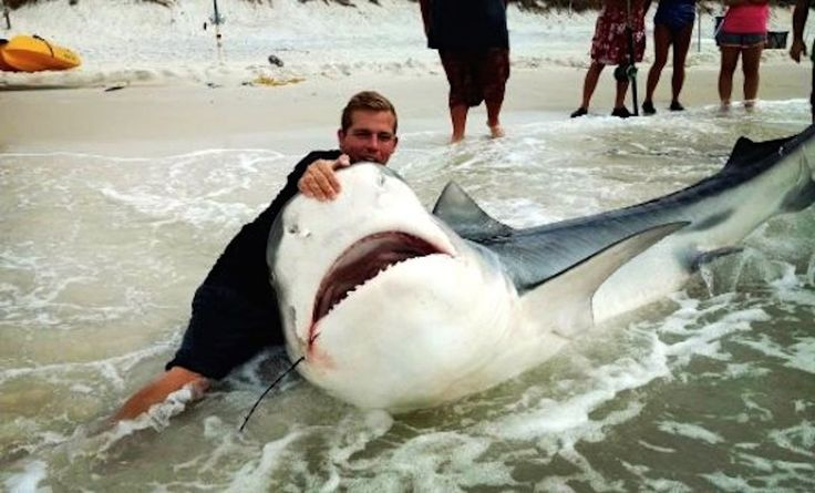 Scientists are astounded over tag information from recaptured tiger shark   Read more at http://www.grindtv.com/fishing/scientists-astounded-tag-information-recaptured-tiger-shark/#GpUmYrXzMI4T0wfO.99