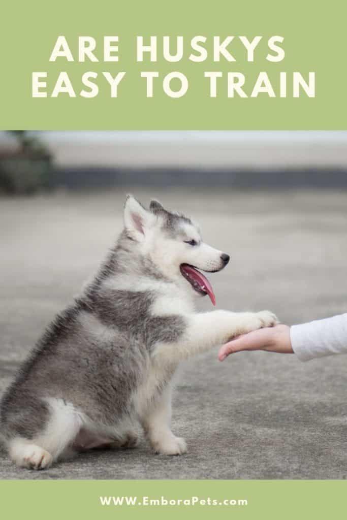 Are Huskies Easy To Train Husky