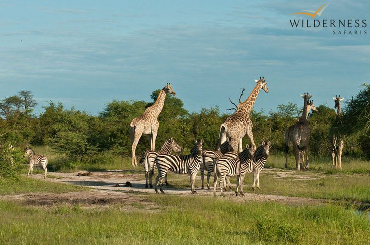Owing to its location on the periphery of the Delta, Chitabe offers exciting year-round game viewing. #Botswana #Africa #safari #zebra #giraffe