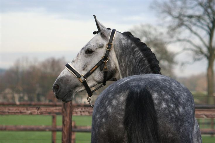 Dutch Warmblood- Most horses of this breed are black, brown, bay, chestnut or gray. White markings are common.