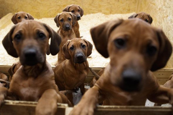 rhodesian ridgeback puppies...my brother has one, and she is the BEST dog!