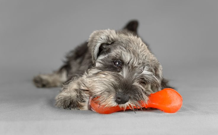 Chew Toys!  Dogs have a physiological need to chew.  Especially puppies. Providing them with safe chew toys will help them satisfy this urge while saving your shoes!  Be sure to get rid of any toys that are falling apart.  #Dogs #Dogslife #Dogshealth