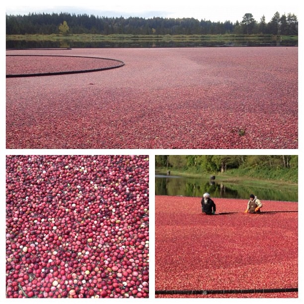 #cranberry harvest today near #fortlangley - @bcameronpix- #webstagram