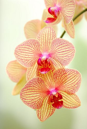 Lovely orchids that would look PERFECT in M'Lady's hair!