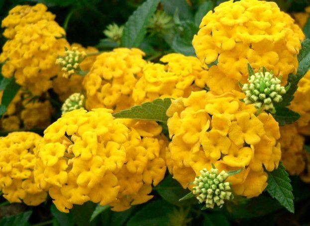 Hortensje Uprawa Pielegnacja I Najpopularniejsze Odmiany Yellow Hydrangea Flowers Hydrangea Wallpaper