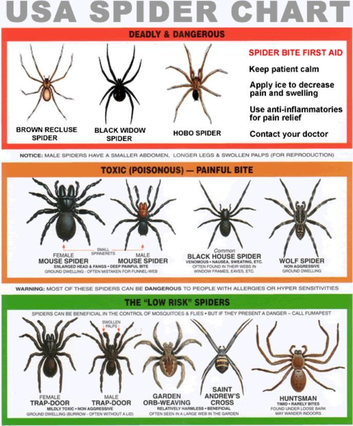 Spider-chart & how lethal/First Aid...What! I find brown recluses all the time! Ugh i hate spiders :(