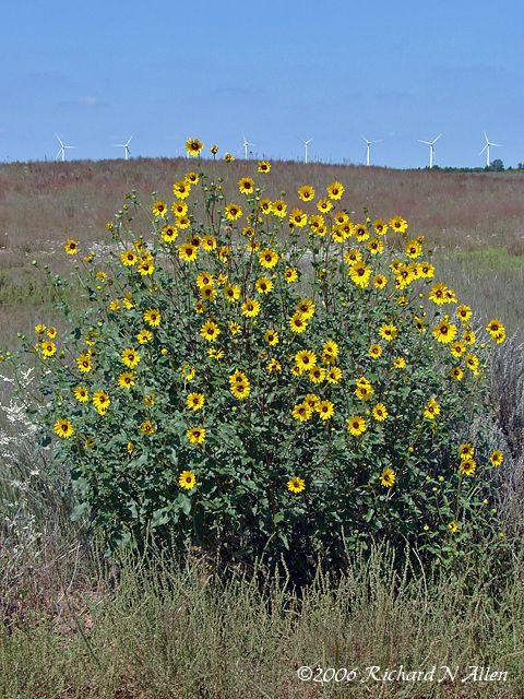 maximilian sunflower - Google Search   meadow   Maximilian ...