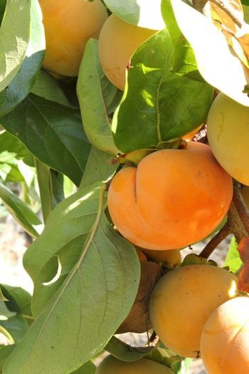 Fuyu persimmon tree-I want one. They do well in SoCal; here are some tips on care to heed.