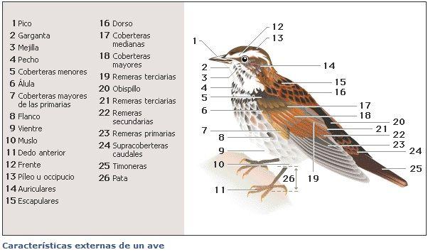 MIGRACIÓN DE LAS AVES Características externas de un ave