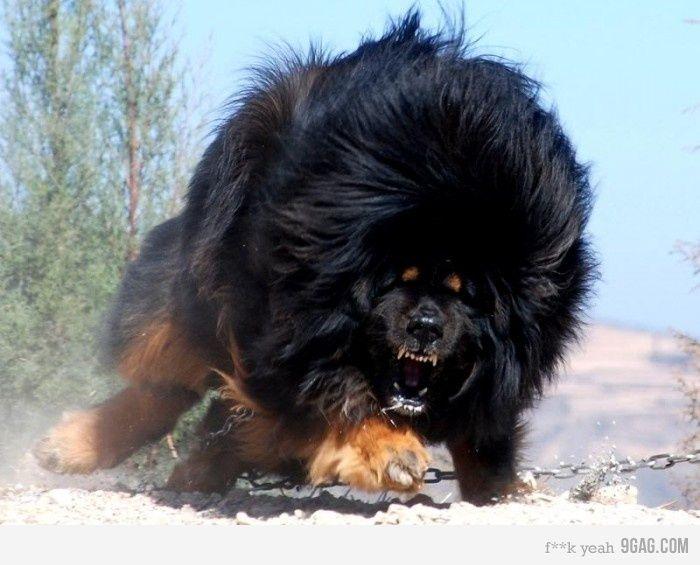 "Mouse, the (Foo) Dog, in beast mode: Tibetan Mastiff. Fantasy casting Jim Butcher's ""Dresden Files."""