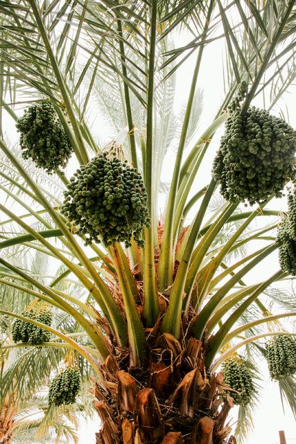 Dates are always available during iftar, out of respect for tradition and because they provide a quick boost of energy for the eating to come. Here, a date palm on a farm in Thermal, Calif. (Photo: Amy Dickerson for The New York Times)