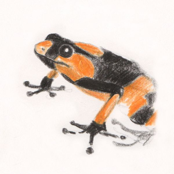"Amazonian dart frog sketch, making of ""Ciacio in Amazonia"" picture book by Sarah Khoury"