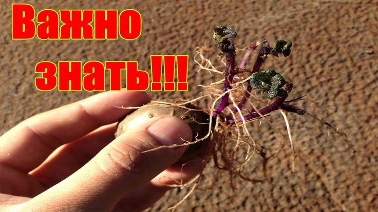 Секрет ускоренного выращивания картофеля / Ведро с куста / Как правильно...
