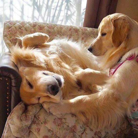 Ringo and Dingo (Chloé family dogs)