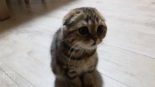 Kočka domácí jménem Kicunka, plemeno Skotská klapouchá kočka, město Praha