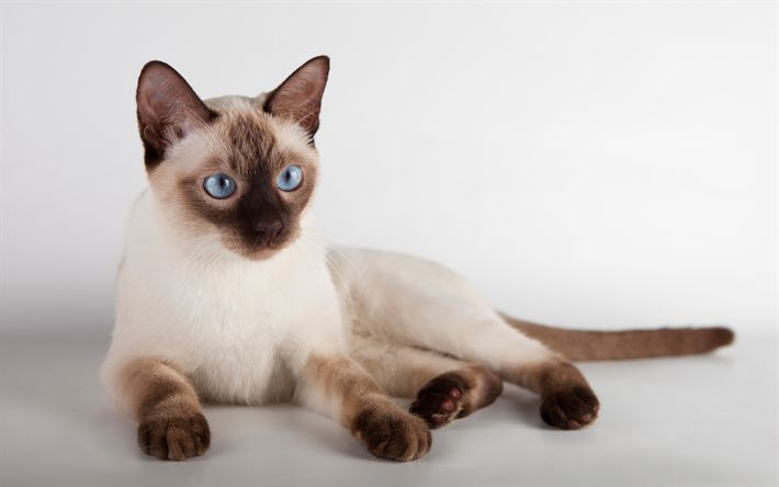 Download wallpapers Thai cat, light brown cat, 4k, pets, Siamese cats, cute animals