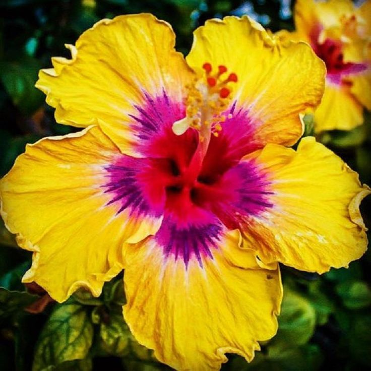 Rare Yellow Pink Hibiscus Seeds Giant Dinner Plate Fresh Flower Wedding Party Yard Garden Exotic Hardy Flowering Perennial Tropical 442 by ToadstoolSeeds on Etsy