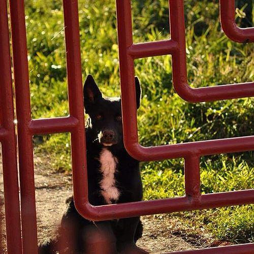 My Sirius Black  #mydog #dog #pets #mypets #harrypotter #animal #doggy #love #cute #iphonesia #iphoneonly #picoftheday #photooftheday #igdaily #tweegram #beautiful #igers