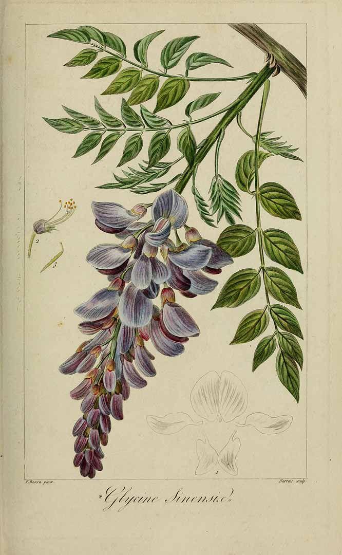 191828 Wisteria sinensis (Sims) Sweet [as Glycine sinensis Sims]  / Mordant De Launay, F., Loiseleur-Deslongchamps, J.L.A., Herbier général de l'amateur, vol. 8: t. 558 (1817-1827) [P. Bessa]
