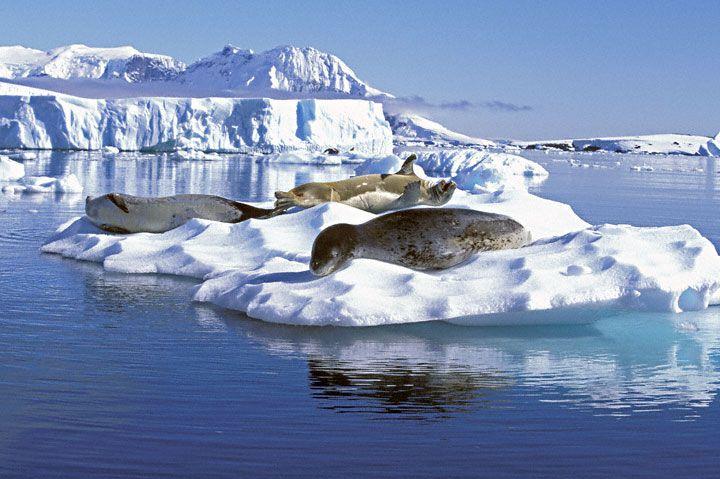 Leopard Seal - Antartica