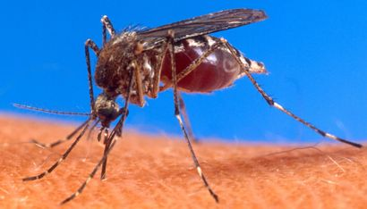 Male Mosquitoes Lured to Traps by Sounds of Female Wing-beats – Entomology Today