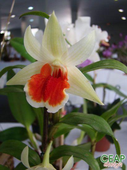Dendrobium 'Green Lantern'