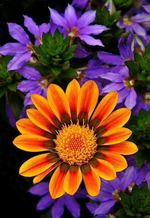 Gazania with purple Fan Flower (Scaevola)