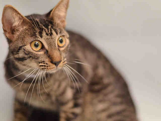 KIERA - A1097222 - - Manhattan  Please Share:***TO BE DESTROYED 11/22/16*** SIX MONTH OLD KITTEN SOLICITS PETTING AND ATTENTION AND WOULD LOVE TO COME PLAY AT YOUR HOUSE! -  Click for info & Current Status: http://nyccats.urgentpodr.org/kiera-a1097222/