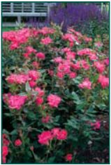 Rosa 'Knockout'® ('Radrazz') PP11836