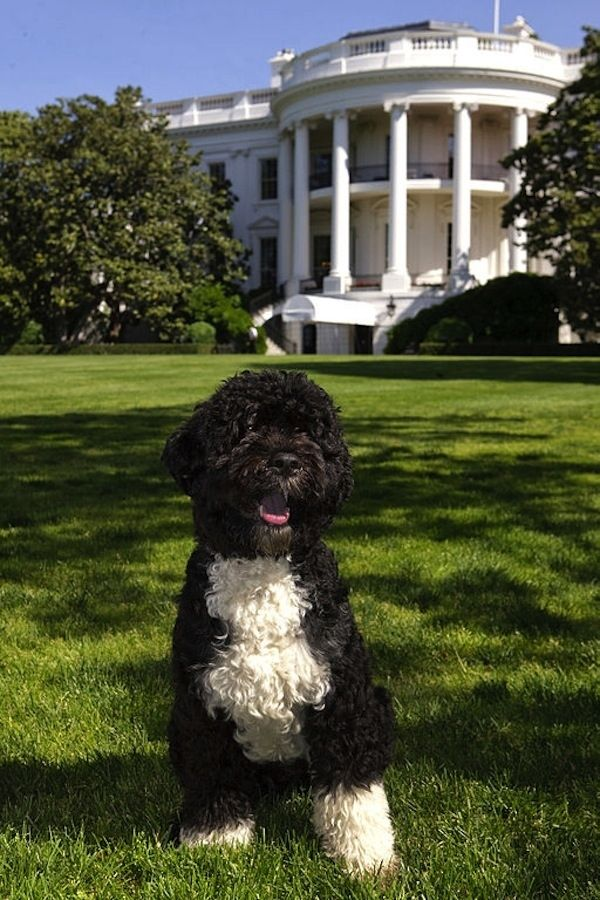 How Bo Obama Spent His Birthday  The DOTUS (Dog of The United States) turned 4 yesterday! Let's see how he celebrated.