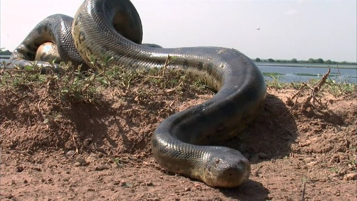 IS THIS THE BIGGEST SNAKE IN THE WORLD? #snakes #anaconda #snake