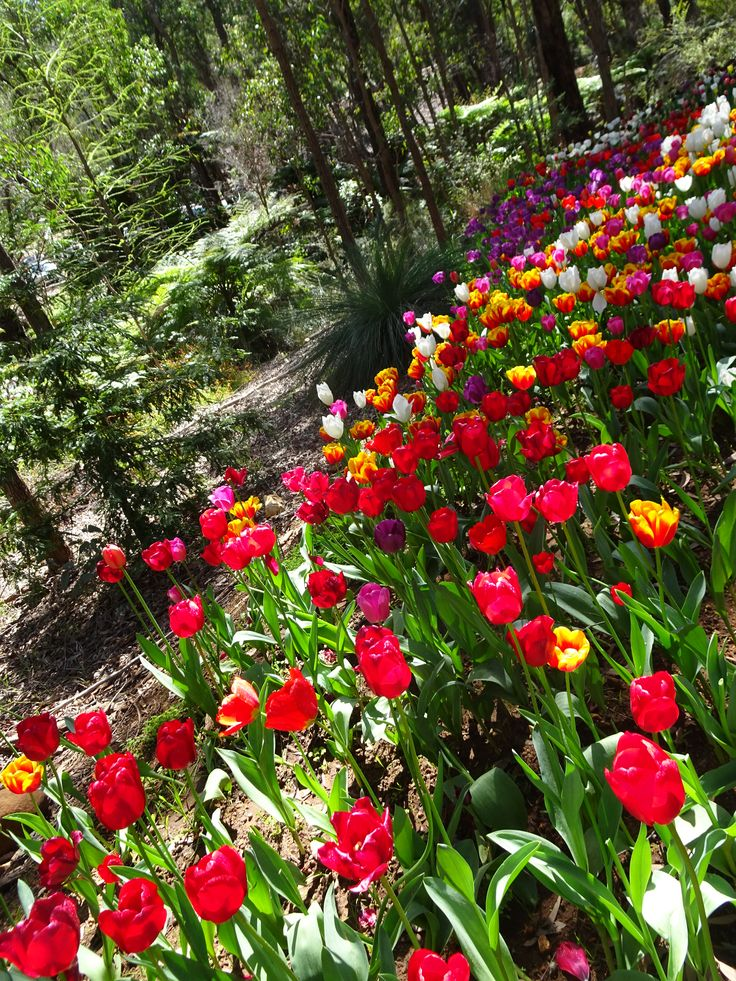 Spring has well and truly sprung and nothing tops a warm spring day meandering around the multitude of winding paths admiring the sea of tulips at Araluen.