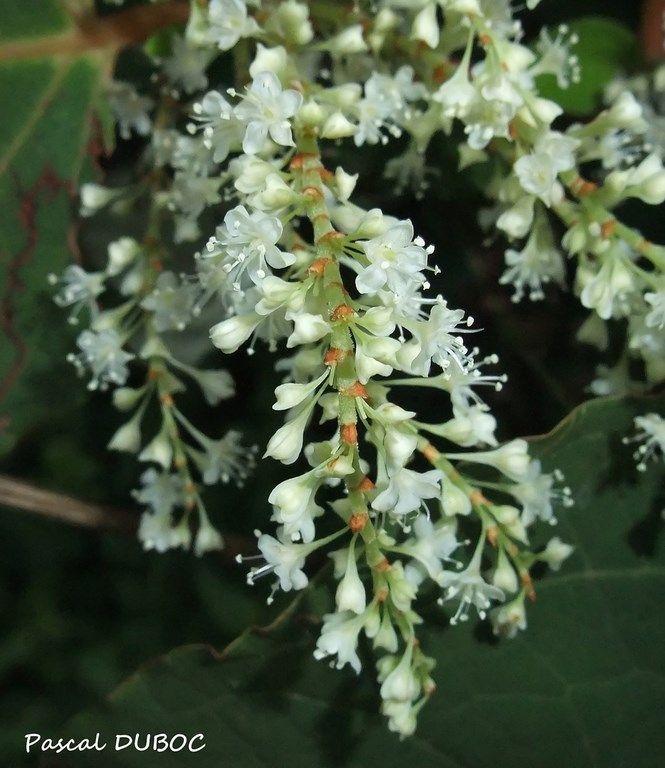 Renouée du Japon - Reynoutria japonica