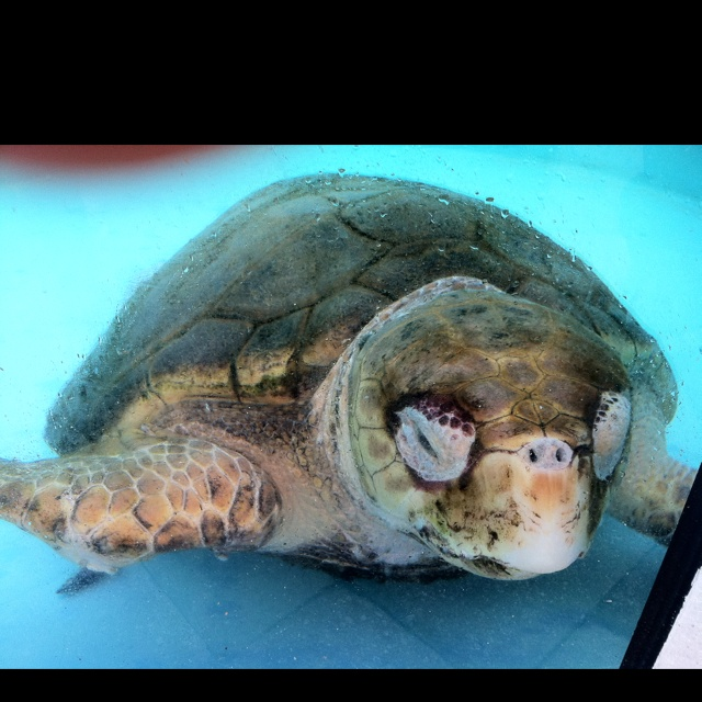 Loggerhead Turtle Juno Beach Fl Chill Zone Pinterest